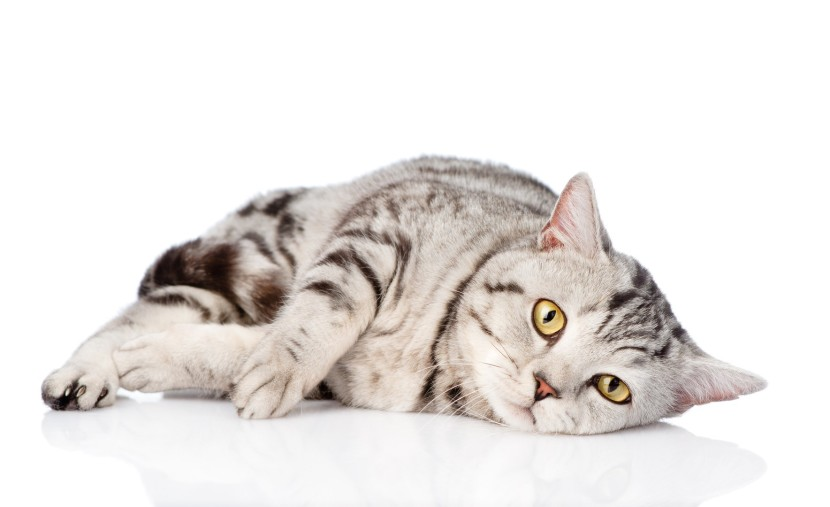Feline Infectious Peritonitis with Zero Chance of Survival