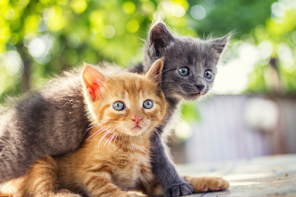 Things You Need to Understand from Feline Infectious Peritonitis