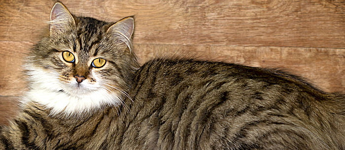Understanding What Infectious Feline Peritonitis Is