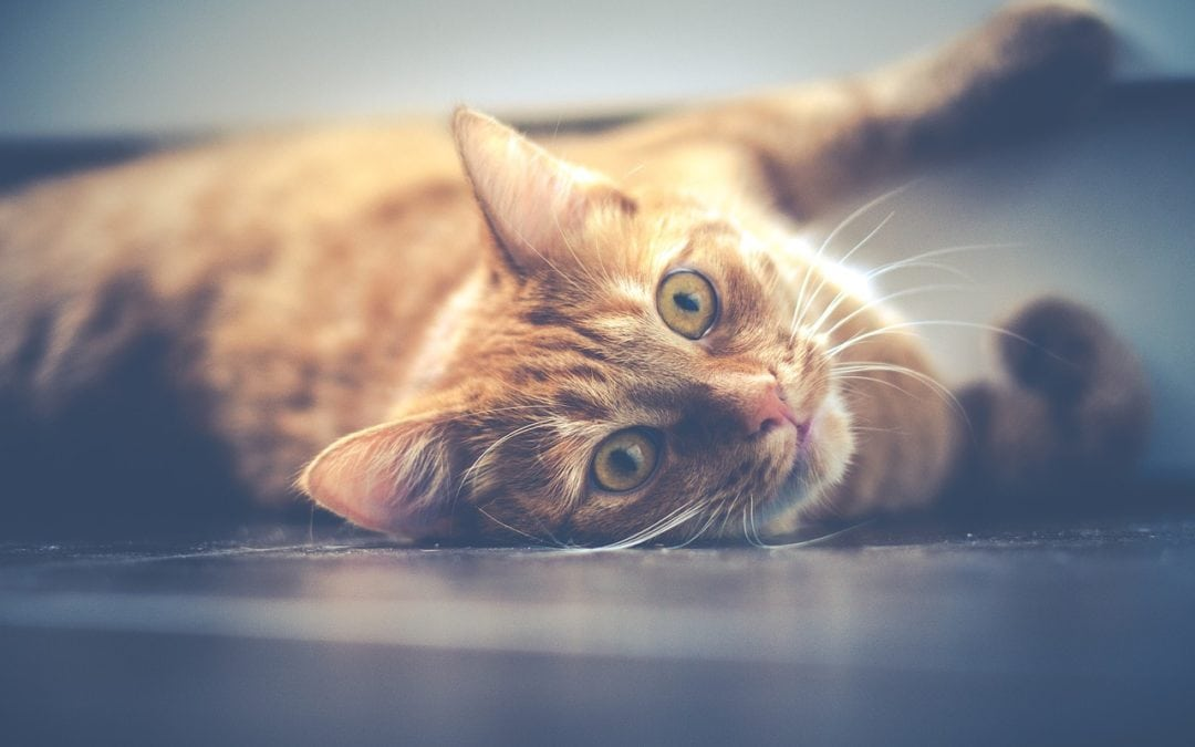 Learn More About Feline Infectious Peritonitis of Cats