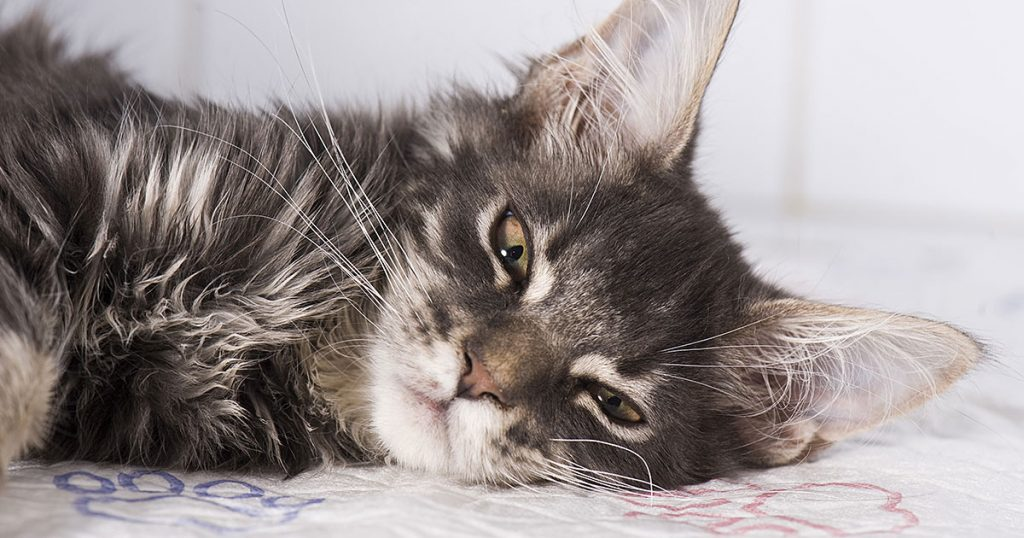 Recognize the Impact of Feline Infectious Peritonitis Virus