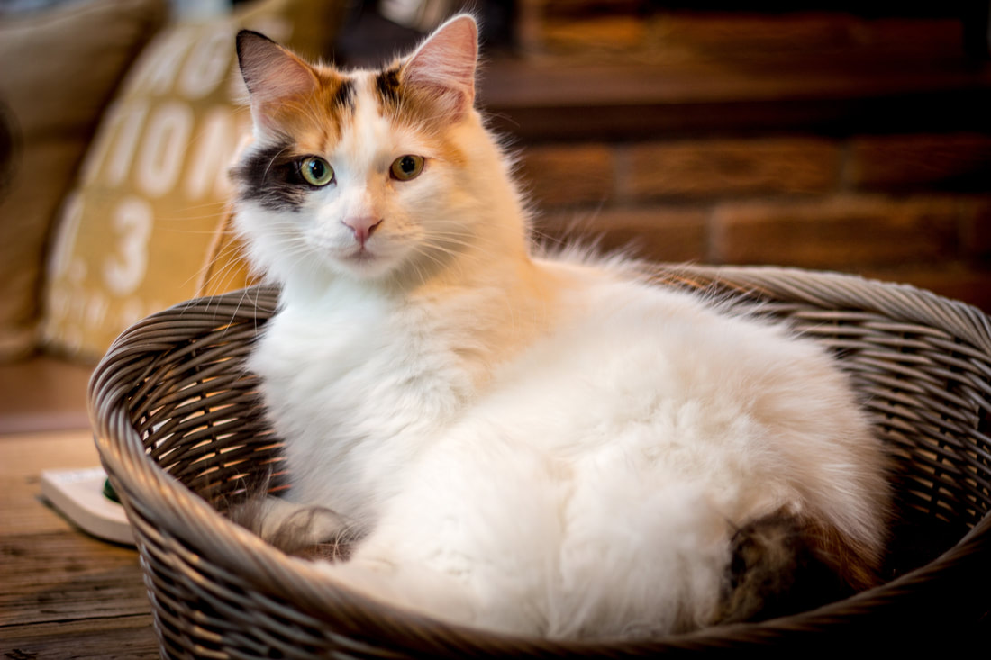Two Things You Need to be Aware from FIP in Your Cat