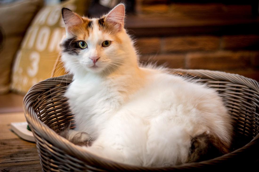 FIP in Your Cat