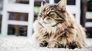 6 Tips Cara Merawat Kucing Persia